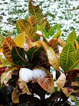 Croton plant in our backyard with snow on it