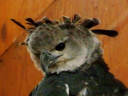 Harpy Eagle at World Center for Birds of Prey in Boise, ID by Lindsay S Godfree