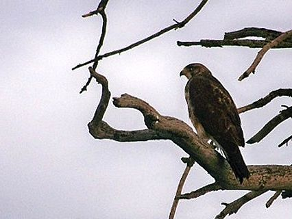 Hawk in Wyoming