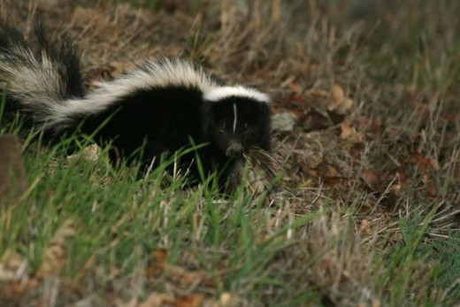 Tips for removing skunk smell from dogs,ks42day, morguefile.com
