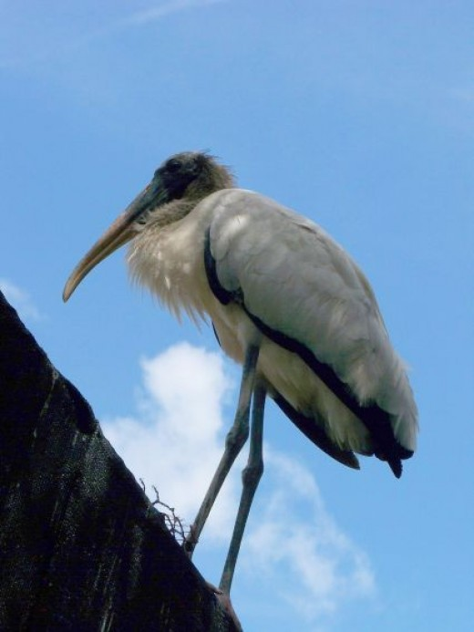 Americas only Stork. The Woodstork
