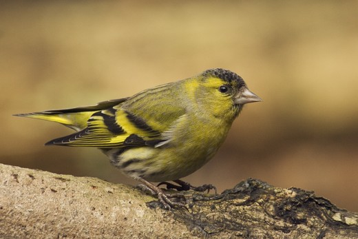 Male siskin . Siskins are included on Schedule 3 part 1. photograph by-Slawomir Staszczuk