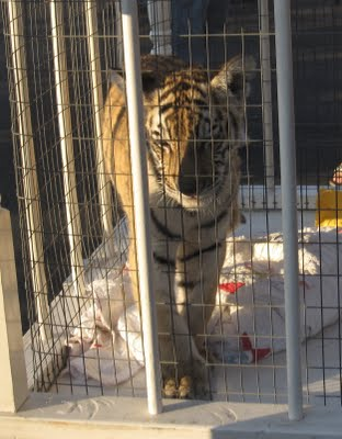 Life can put us on edge so that we find ourselves pacing the cage like a tiger.