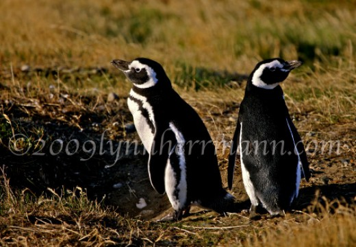 Make sure to plan a morning with the penguins when in the Punta Arenas area.