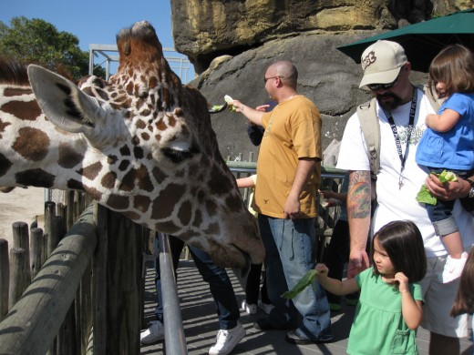 giraffe feeding - look at the size of that head!