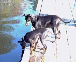 Packet at 22 pounds would be relatively easy to haul out should he slip into the water.  Jericho looks as if he's considering giving Packet a helping shove into the water -- or at least encouraging him to take the plunge.  Typical fur-kids!