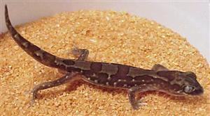 Steindachneri's Gecko
