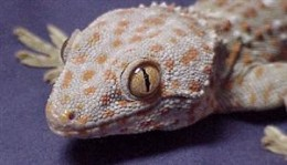 Tokay Gecko - This one looks similar to a Bearded Dragon, with spines on back of head.