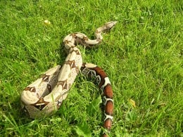 Here is a very beautiful specimen of a Boa Constrictor.