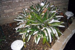 Houston Snow on a Sego Palm Tree