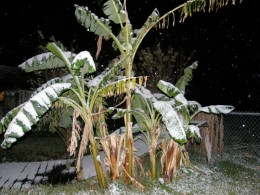 Houston Snow on Banana Trees