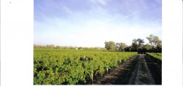 More Rows of Grape Vines