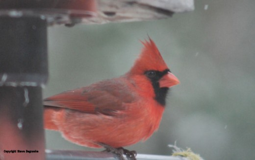 A cardinal adds welcome color this time of year.
