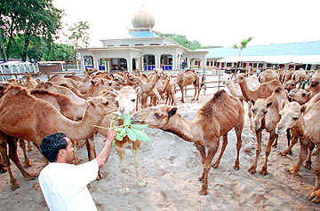 Camels for sacrifice