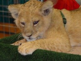 This lion cub doesn't want to eat you... yet.  (Photo by Elvis Santana)