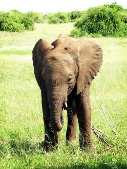 An elephant calf.