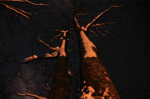 Snow clings to the east side of a pair of oaks under a starry sky.