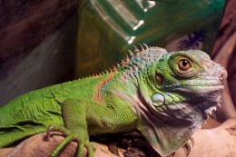 Iguana's can grow very large and live up to 30 years. So be sure you really want a Iguana before you purchase one.
