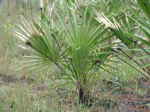 Saw Palmetto Stands at Over 10 Feet