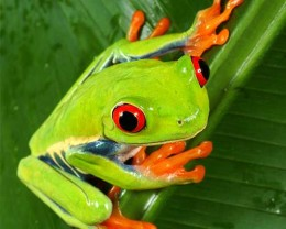 The question is, Have you ever met a red eyed tree frog. Are you thinking about having one as a pet?