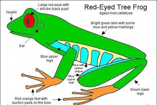 Do you have a red eyed tree frog? Have you ever met a red eyed tree frog. Post your comments below now.