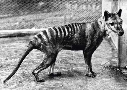 "The last known Thylacine ""Benjamine"" photographed at Hobart (formerly Beaumaris) Zoo in 1936."