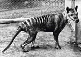 """The last known Thylacine """"Benjamine"""" photographed at Hobart (formerly Beaumaris) Zoo in 1936."""