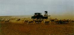 Farmer feeding sheep during drought