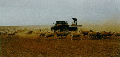 Farmer feeding sheep during drought