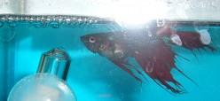 Bloated Betta Fish | Mystery Bloat