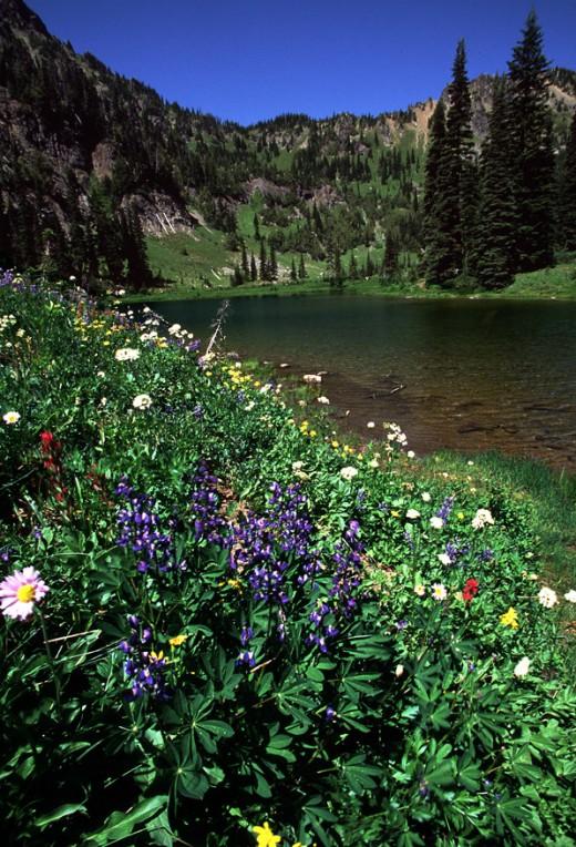 Lupine along Sheep Lake just north of Chinook Pass.