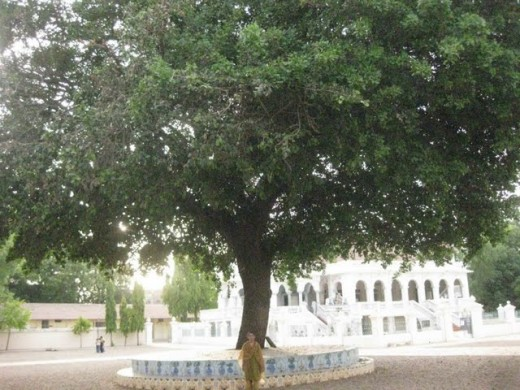 Rayan Rukh, the great tree inside the campus of Agas Jain temple