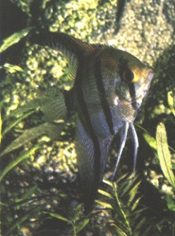 Tropical Freshwater Angelfish Care