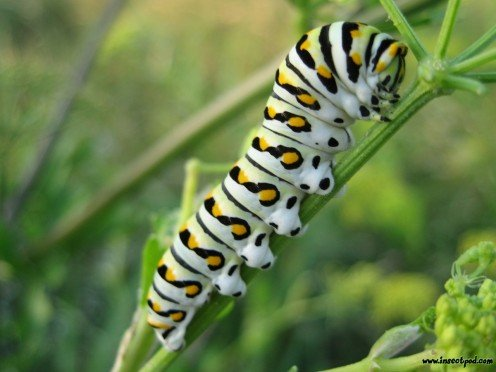Swallow Tail Caterpillar  http://emergentcy.wordpress.com/