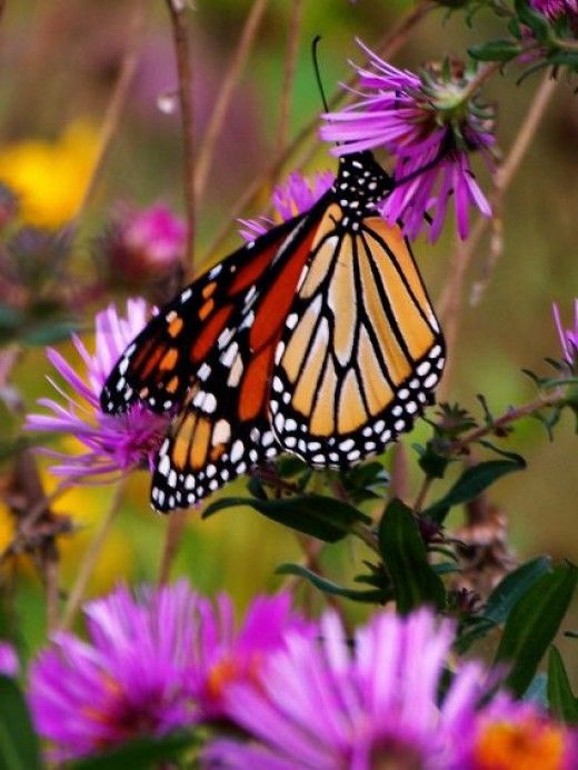 Monarch Butterfly on purple Aster in Iowa by Author