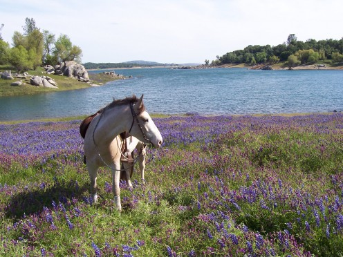 My mustang, JerryJeff, enjoying a spring outing at Folsom Lake in California