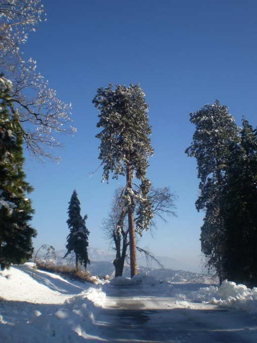 Magnificent sequoia tree covered in snow.