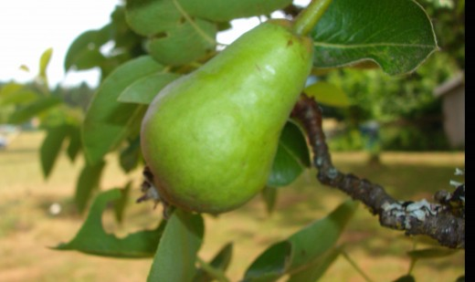 Small fruit trees are a good low-maintainance start to any edible landscape.