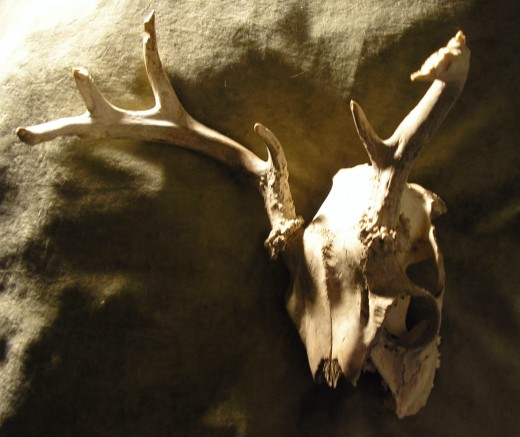 Here are some beautiful bones, a deer skull complete with antlers. Photo Credit: Ben Zoltak all rights reserved.