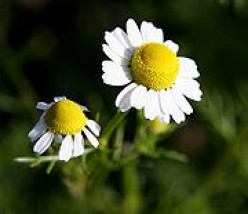Chamomile Flower Hair Rinse for light colored hair