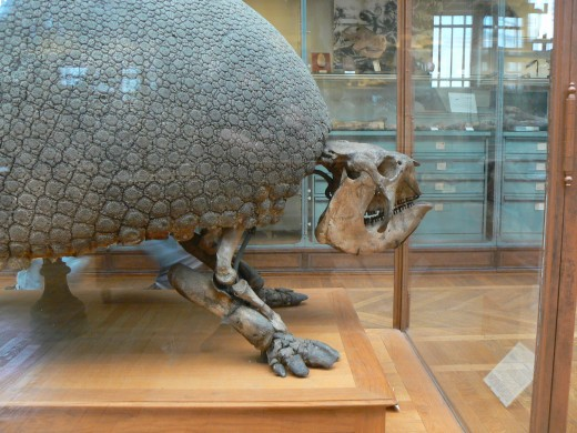 Glyptodon asper  Photo credit: public domain, Musum national d'Histoire naturelle, Paris