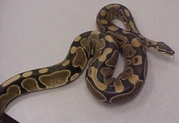 A Ball Python Is A Great Snake For The Beginner. It is easy to care for and usually gives few problems.