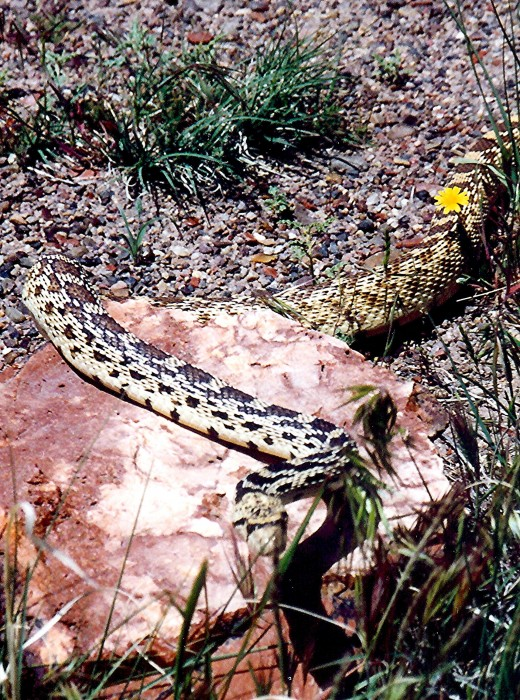 That pretty snake was a long one in the Petrified Forest National Park.