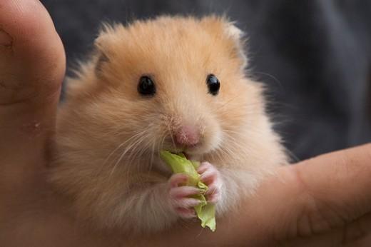 Live Hamster