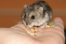 Live hamster eating