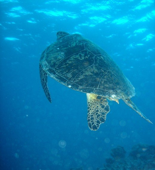 The Green Sea Turtle one of the many marine creature to inhabit the Great Barrier Reef.