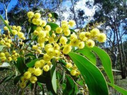 Golden Wattle – The National Flower of Australia