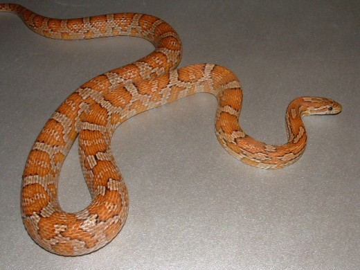 This Corn Snake is close to the same colors you would see in a corn snake in the wild.