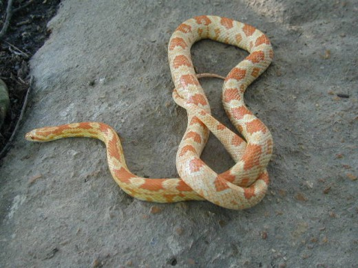 Here is a Red Albino Corn Snake
