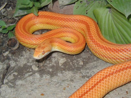 Here is a Amelanistic Striped Corn Snake
